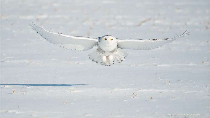 Snowy Owl in Flight<br /> ray@raymondbarlow.com<br /> Nikon D800 ,Nikkor 200-400mm f/4G ED-IF AF-S VR<br /> 1/5000s f/4.0 at 400.0mm iso250<br /> No Bait used
