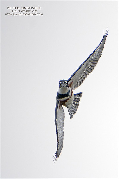 Belted kingfisher in flight!<br /> <br /> So much fun trying to catch these rockets in flight.  After reviewing at least 500 images, I picked a couple to edit.  <br /> <br /> Dull boring light, and a brutal background, but fun regardless.  I think Maria caught a couple of shots too.<br /> <br /> I am looking forward to some sunlight!<br /> <br /> The a7r4 + 200-600 did a decent job tracking these birds, the problem was the distance.  As we know, kingfishers are skittish, so we can't expect much.  About 3 hours out there, so I can't complain.  What a cool bird!!