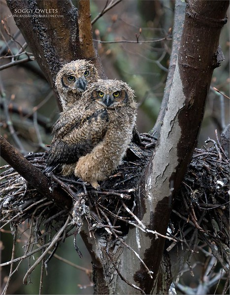 A soggy and grumpy pair of young owl chicks.<br /> <br /> Southern Ontario, Canada. <br /> <br /> Stay safe, and be careful!