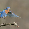 Bluebird Lift-off!<br /> <br /> A wonderful male Eastern Bluebird lifts of his perch for higher ground!<br /> <br /> Local workshops are great fun.  Little travel, one on one programs that help photographers learn how to work with nature, and enjoy the beauty.  A lot of suggestions, and recommendations for all aspects of wildlife and bird photography, especially talks about ethical nature photography.<br /> <br /> Helping people understand the reasonable limitations on what we should and should not be doing in the field is an important part of my program.<br /> <br /> please respect our natural world!<br /> <br /> <br /> Eastern Bluebird in Flight<br /> RJB Wild Birds of Ontario Workshops<br /> ray@raymondbarlow.com<br /> 1/5000s f/7.1 at 300.0mm iso4000