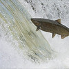 Another FIF!<br /> <br /> Fish in flight!<br /> <br /> Salmon Migration<br /> Southern Ontario,  2020<br /> A7r4 + 200-600OSS<br /> Jobu Gimbal head and Algonquin tripod