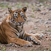 """#india #tiger  <br /> <br /> Join me for the next Tiger Tour?<br /> <br /> Early this June 2015!  This is """"Ustad"""" also known as T24, a 550 pound Male located in Ranthambore NP, India.  I host photo tours to this location, as we have 2 mothers here with cubs.  Superb opportunities and an incredible experience!<br /> <br /> Ustad is waiting to say good morning to you!<br /> I really can't wait to go back!<br /> <br /> Raymond<br />  <a href=""""http://www.raymondbarlow.com"""">http://www.raymondbarlow.com</a><br /> <br /> High resolution prints available!<br /> ray@raymondbarlow.com"""
