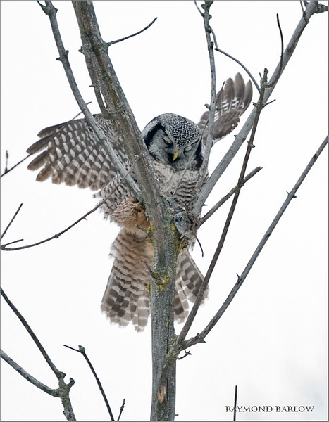 """Another interesting day with the Hawk Owl, unfortunately we didn't get a good angle for a background today, so blah white sky behind the bird.<br /> <br /> next time!<br /> <br /> Northern hawk owl preparing lunch<br /> Ontario, Canada<br /> <br />  <a href=""""http://www.raymondbarlow.com"""">http://www.raymondbarlow.com</a><br /> Sony Alpha α9 ,Sony 100-400GM<br /> 1/2000s f/5.6 at 400.0mm iso6400"""