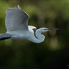 Great White Egret in Flight - Florida<br /> Raymond Barlow Photo Tours to USA - Wildlife and Nature<br /> <br /> ray@raymondbarlow.com<br /> Nikon D810 ,Nikkor 600 mm f/4 ED<br /> 1/3200s f/6.3 at 600.0mm iso1000