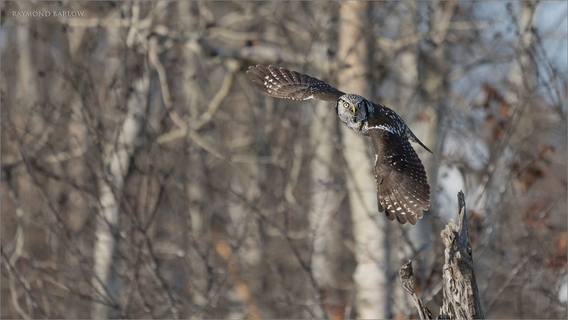 """A little bit of sunlight can go a long way to brighten up the colours, and speed up the camera.  This owl was active for about 3 hours one day last week , and great fun shooting!  Dodging all the people was difficult, but that is the reality of a popular owl in Ontario.<br /> <br /> The a7r4 did a good job keeping up with the bird with most flight shots, still hoping for a software upgrade soon!  The busy background is a bit disappointing, so regardless, I edited this shot since I like the flight pose with the wings down.  Hopefully another chance soon.<br /> <br /> Northern Hawk Owl Lift Off!<br /> Ontario, Canada<br /> <br />  <a href=""""http://www.raymondbarlow.com"""">http://www.raymondbarlow.com</a><br /> Sony Alpha α7R IV ,Sony 100-400GM<br /> 1/4000s f/5.6 at 400.0mm iso640"""