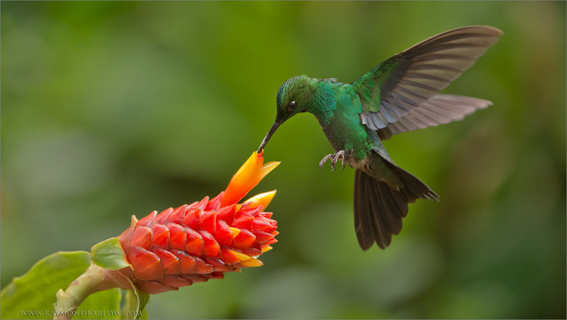 "New tour dates are set!<br /> <a href=""http://raymondbarlowworkshops.blogspot.ca/"">http://raymondbarlowworkshops.blogspot.ca/</a>…/costa-rica-with…<br /> <br /> Green-crowned Brilliant on a Flower<br /> RJB Costa Rica Photo Tours<br />  <a href=""http://www.raymondbarlow.com"">http://www.raymondbarlow.com</a><br /> 1/2000s f/5.0 at 360.0mm iso4000<br /> <br /> Thanks for looking!<br /> <br /> Raymond"
