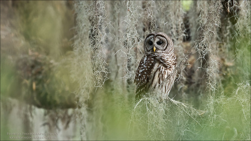 """Barred Owl<br /> Raymond Barlow Photo Tours to USA - Wildlife and Nature<br /> <br />  <a href=""""http://www.raymondbarow.com"""">http://www.raymondbarow.com</a><br /> Nikon D810 ,Nikkor 600 mm f/4 ED<br /> 1/100s f/7.1 at 600.0mm iso1250"""