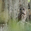 "Barred Owl<br /> Raymond Barlow Photo Tours to USA - Wildlife and Nature<br /> <br />  <a href=""http://www.raymondbarow.com"">http://www.raymondbarow.com</a><br /> Nikon D810 ,Nikkor 600 mm f/4 ED<br /> 1/100s f/7.1 at 600.0mm iso1250"