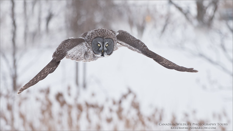 Great Grey Owl Hunting Naturally<br /> Raymond's Canada Nature Photography Tours<br /> <br /> Please imagine - No Bait - Is it possible?<br /> Absolutely<br /> ray@raymondbarlow.com<br /> Nikon D810 ,Nikkor 200-400mm f/4G ED-IF AF-S VR<br /> 1/2000s f/5.6 at 300.0mm iso1250