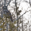 "Great Gray Owl Hunting<br /> Raymond's Ontario Nature Tours<br /> <br />  <a href=""http://www.raymondbarlow.com"">http://www.raymondbarlow.com</a><br /> ray@raymondbarlow.com<br /> Nikon D800 ,Nikkor 200-400mm f/4G ED-IF AF-S VR<br /> 1/200s f/6.3 at 400.0mm iso250"