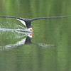 Many patient hours of waiting, and attempts to capture this shot., a superb location in NYS.   Hoping for a return trip this summer!<br /> <br /> Black Skimmer Catching a drink<br /> Long Island - NY<br /> <br /> ray@raymondbarlow.com<br /> Nikon D850 ,Nikkor 200-400mm f/4G ED-IF AF-S VR<br /> 1/2000s f/5.0 at 400.0mm iso2500