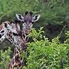 Witnessing a beautiful family of 4 Giraffes feeding in a green forest was brilliant to say the least!  These animals were not afraid of use, as they were calm and indifferent.<br /> <br /> Looking forward to a return trip..  please email me if you would like to go!<br /> <br /> Giraffe Family<br /> Tanzania, Africa<br /> <br /> Tours to Tanzania - ray@raymondbarlow.com<br /> Nikon D850 ,Nikkor 200-400mm f/4G ED-IF AF-S VR<br /> 1/800s f/5.6 at 400.0mm iso1250