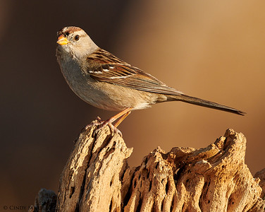 White-crowned Sparrow imm
