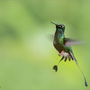 "Beautiful Nature in Ecuador!  - + more tours soon!<br /> <br /> Thanks to my guests for another awesome tour south to the land of green, and hummingbirds.  We had an incredible time visiting 5 photography locations, all at different elevations.<br /> <br /> Each lodge has their own species of birds, with so many different views to work with as a photographer.  Everything is so well protected and preserved to help wildlife and birds survive.<br /> <br /> My next tours.. Costa Rica, then India, back to Costa Rica, Newfoundland, Africa, India in October, then Ecuador in November.<br /> <br /> Join my photo tours, and have fun with so many spectacular subjects!<br /> <br /> <br /> Booted Racket-tail - Ecuador Photo Tours<br /> RJB Ecuador Tours<br />  <a href=""http://www.raymondbarlow.com"">http://www.raymondbarlow.com</a><br /> 1/800s f/8.0 at 340.0mm iso3200"