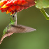 "Coppery-headed Hummingbird<br /> <br />  <a href=""http://www.raymondbarlow.com"">http://www.raymondbarlow.com</a><br /> 1/1000s f/5.6 at 400.0mm iso2500"