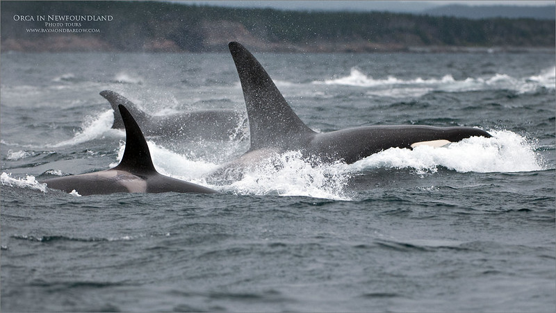 Newfoundland 2010<br /> <br />  I still enjoy going through the old images from 10 years ago!<br /> Thanks to Chris, Glenn, and David for a fun trip. ( my first tour )<br /> <br /> Here we had a pod of Orca dining on a Minke whale right in front of us! <br /> <br /> Spectacular Nature!