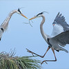 """Great Blue Herons Nesting - Florida<br /> Raymond's USA Photography Tours<br /> <br />  <a href=""""http://www.raymondbarlow.com"""">http://www.raymondbarlow.com</a><br /> Nikon D810 ,Nikkor 600 mm f/4 ED<br /> 1/800s f/6.3 at 600.0mm iso1250"""