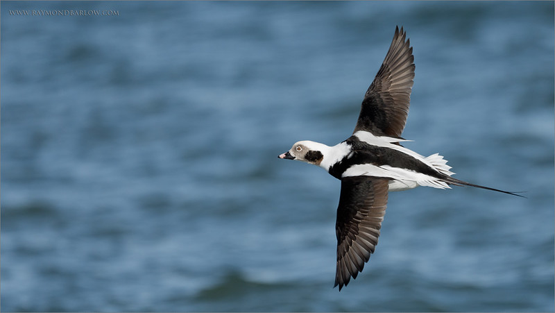 "Male Long-tailed duck in Flight<br /> Burlington Ontario<br /> <br />  <a href=""http://www.raymondbarlow.com"">http://www.raymondbarlow.com</a><br /> Sony A7riv,Sony FE 100-400mm F4.5–5.6 GM OSS<br /> 1/4000s f/5.6 at 400.0mm iso400"