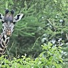 After a quick look about for lions, we decided to venture into a forest that hosts so many bird species.  10 minutes into the woods, we catch up with 4 giraffes feeding on the lush green vegetation.<br /> <br /> Awesome experience to have these beauties  in close, and surrounded by green!<br /> <br /> Maasai giraffe Portrait - Tanzania<br /> Tanzania, Africa<br /> <br /> ray@raymondbarlow.com<br /> Nikon D850 ,Nikkor 200-400mm f/4G ED-IF AF-S VR<br /> 1/320s f/8.0 at 400.0mm iso1250