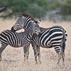 Zebra Family in Tanzania<br /> Raymond Barlow Photo Tours to Tanzania Wildlife and Nature<br /> <br /> ray@raymondbarlow.com<br /> Nikon D810 ,Nikkor 200-400mm f/4G ED-IF AF-S VR<br /> 1/1250s f/4.0 at 400.0mm iso640