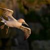 Northern Gannet in Flight<br /> Newfoundland Photo Tours