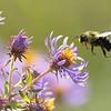 7R404175 Bumble bee 1200 web