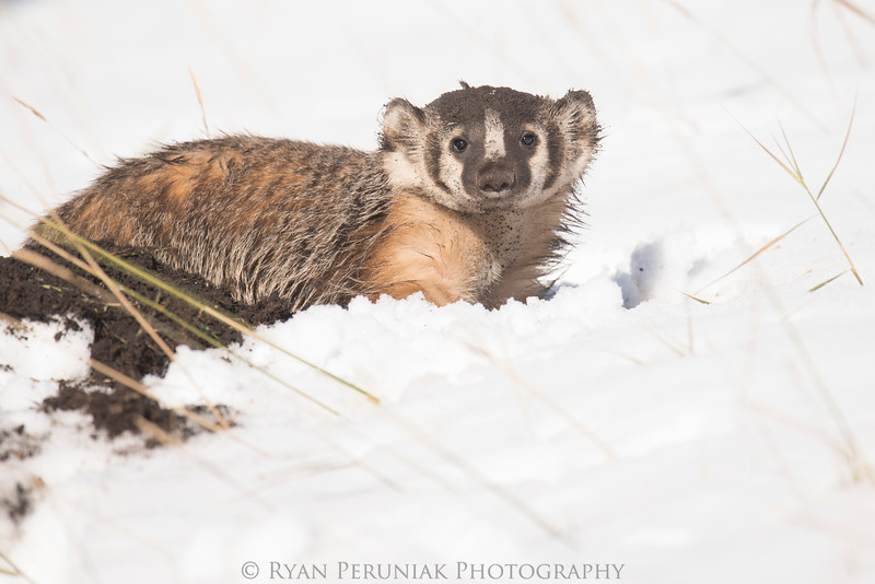 Badger in the snow.