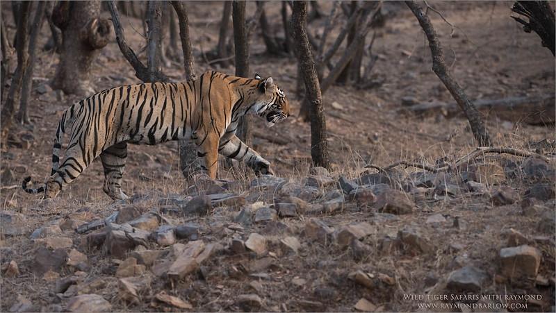 Tiger on the Hunt<br /> Raymond's Wild Tiger Photography Tours<br /> <br /> ray@raymondbarlow.com<br /> Nikon D810 ,Nikkor 200-400mm f/4G ED-IF AF-S VR<br /> 1/500s f/5.0 at 240.0mm iso1250