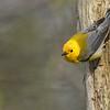 Prothonatary Warbler<br /> Raymond's Ontario Nature Photography Tours<br /> <br /> ray@raymondbarlow.com