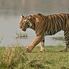 Female Tiger T19 Krishna - India 2015<br /> Raymond's Wild Tiger Photography Tours<br /> <br /> Prints - Workshops - Tours<br /> ray@raymondbarlow.com<br /> Nikon D800 ,Nikkor 200-400mm f/4G ED-IF AF-S VR<br /> 1/2500s f/6.3 at 330.0mm iso1250