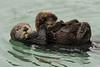 California Sea Otter and Pup