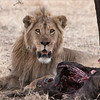 Lion with a Kill<br /> RJB Tanzania, Africa Tours<br /> ray@raymondbarlow.com<br /> Nikon D300 ,Nikkor 200-400mm f/4G ED-IF AF-S VR<br /> 1/200s f/7.1 at 400.0mm iso320