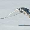 Snowy Owl in Flight<br /> RJB Wild Birds of Ontario Workshops<br /> ray@raymondbarlow.com<br /> No Bait used or needed<br /> Nikon D800 ,Nikkor 200-400mm f/4G ED-IF AF-S VR<br /> 1/6400s f/5.0 at 400.0mm iso400