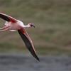 Flamingo in Flight<br /> RJB Tanzania, Africa Tours<br /> Nikon D300 ,Nikkor 200-400mm f/4G ED-IF AF-S VR<br /> 1/1600s f/4.0 at 400.0mm iso250<br /> ray@raymondbarlow.com<br /> please feel free to share.
