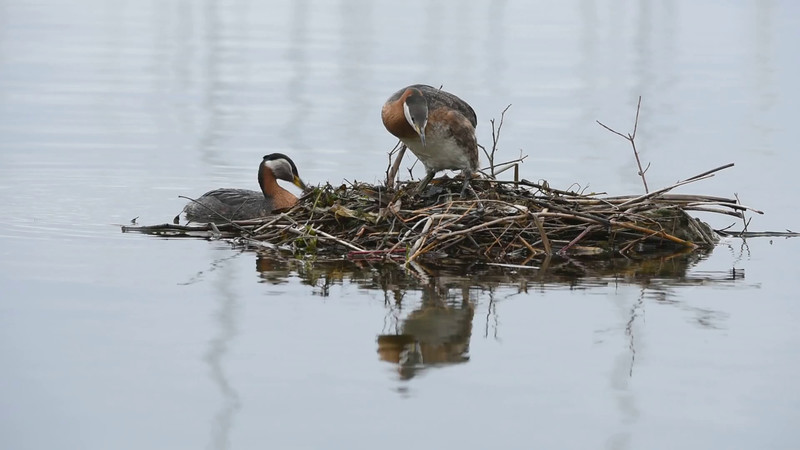 Video and Nature - A grebe Family's Mother's Day!<br /> <br /> Red-necked Grebe Family tending their nest.<br /> <br /> I still have a lot to learn about doing video, so here is my latest attempt!<br /> I hope you enjoy nature and the beauty of a family on Mother's day.<br /> <br /> D810 - 200-400 vr1, Jobu Algonquin Tripod, Jobu Gimbal Head.