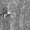 "Another frosty day yesterday February 1, 2020 with the hawk owl.  With him spending most of his time up in the trees with elevated view of the swamp, it was nice for us to have a lower perspective, with a background that looks better then the white sky.<br /> <br /> A pretty snowfall without a lot of wind adds to the image, but makes focusing difficult for most cameras... not the Sony, amazing results as the a7r4 locked in straight away, and produced a nice result at iso 2000.<br /> <br /> On the contrary, my Maria beside me had little success, as her Nikon D800 would not focus worth a *****.... so you can imagine how much we are looking forward to a 200-600 G Sony lens!  Some day!<br /> <br /> Thanks also to Harry for another fun day trip!<br /> <br /> Northern Hawk Owl - Snow Shower<br /> Ontario, Canada<br /> <br />  <a href=""http://www.raymondbarlow.com"">http://www.raymondbarlow.com</a><br /> Sony Alpha α7R IV ,Sony 100-400GM<br /> 1/2000s f/5.6 at 379.0mm iso1600"