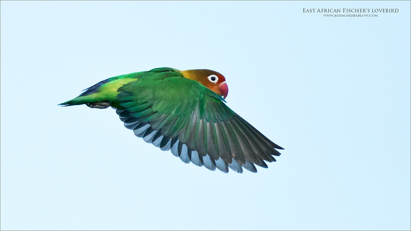 Fischer's lovebird<br /> <br /> A lift off pose as this very cute parrot was chasing its mate across the open vegetation in Ndutu.  Neat to catch a flight shot, but his is only about 25% of the full frame on the a9 sensor (24mp). <br /> <br /> So lets just say I am stretching it to the limit!<br /> <br /> Anyhow, a fun snap shot, with poor background, and yes, better then nothing!  We see such wonderful colours on this beauty.  <br /> <br /> The birds were so good to us on this tour!  Next February, we hope to go again!<br /> <br /> Register your spot with me, ray@raymondbarlow.com.<br /> <br /> Thanks for looking!