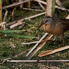 "Virginia Rail<br /> Raymond's Ontario Nature Photography Tours<br /> <br /> Ontario's Nature at its Best!<br /> <br />  <a href=""http://www.raymondbarlow.com"">http://www.raymondbarlow.com</a><br /> Nikon D810 ,Nikkor 200-400mm f/4G ED-IF AF-S VR<br /> 1/6400s f/7.1 at 400.0mm iso2500"