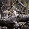 Gray Langur Monkeys in Battle<br /> Raymond's India Photo Tours<br /> <br /> Still room for 3 more guests on my next India Tour <br /> coming up in June 2016.  Superb wildlife photo tours with raymond!<br /> <br /> ray@raymondbarlow.com<br /> Nikon D800 ,Nikkor 200-400mm f/4G ED-IF AF-S VR<br /> 1/1000s f/4.0 at 400.0mm iso2000