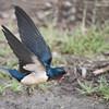 Barn Swallow in Flight<br /> ray@raymondbarlow.com