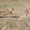 Cheetahs at Play Series 12 Shots  - Image 6-12