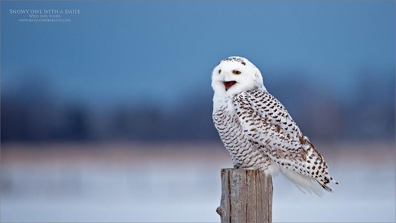 RJB_3750 Smiling snowy Owl 1200 web