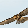 Another fun day out with the ladies, and a good meet up with a few Red-tailed hawks. <br /> <br /> About 30 shots of this one in flight, but unfortunately a poor  background.<br /> <br /> Another try later this week!<br /> <br /> Thanks for looking!