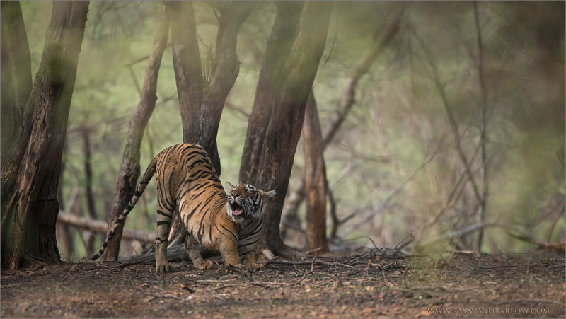 Royal Bengal Tiger in the Forest of Ranthambore<br /> RJB India Photo Tours<br /> <br /> ray@raymondbarlow.com<br /> 1/2000s f/4.0 at 400.0mm iso1600