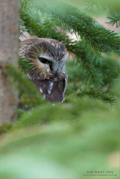 A fun day out in the woods with 3 Saw whet owls!<br /> <br /> Hoping for another chance soon!  Maybe tomorrow morning, <br /> November 5th.<br /> <br /> Email me here if your interested in one on one Covid Safe workshops with wild owls.  <br /> <br /> Thanks for looking!