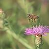 Bee in Flight<br /> Raymond's Ontario Photography Tours<br /> <br /> ray@raymondbarlow.com<br /> Nikon D810 ,Nikkor 200-400mm f/4G ED-IF AF-S VR<br /> 1/2000s f/5.6 at 400.0mm iso2000