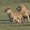 Well that is Just About Enough!<br /> <br /> Superb lions engaging in population growth.<br /> <br /> Hopefully for the survival of the species, and not the survival of the moron hunters and their sick hobby.<br /> <br /> Love Africa.<br /> <br /> Feline Lovers<br /> Raymond Barlow Photo Tours to Tanzania Wildlife and Nature<br /> <br /> ray@raymondbarlow.com<br /> Nikon D850 ,Nikkor 200-400mm f/4G ED-IF AF-S VR<br /> 1/1600s f/6.3 at 400.0mm iso1250