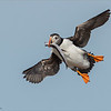 Puffin in Flight with Catch<br /> Raymond's Newfoundland - Canada Photography Tours<br /> <br /> ray@raymondbarlow.com<br /> Nikon D4S SLR ,Nikkor 600 mm f/4 ED<br /> 1/6400s f/7.1 at 600.0mm iso1600