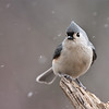 Tufted Titmouse<br /> Raymond's Ontario Nature Photography Tours<br /> <br /> ray@raymondbarlow.com<br /> Nikon D800 ,Nikkor 200-400mm f/4G ED-IF AF-S VR<br /> 1/640s f/5.6 at 400.0mm iso1000