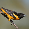 Baltimore Oriole<br /> Raymond's Ontario Nature Photography Tours<br /> <br /> Workshops with Raymond<br /> Nikon D810 ,Nikkor 200-400mm f/4G ED-IF AF-S VR<br /> 1/8000s f/4.0 at 400.0mm iso1000